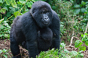 A  mountain gorilla female (Gorilla beringei beringei) carrying her young on her chest through the forest, Volcanoes National Park, Rwanda