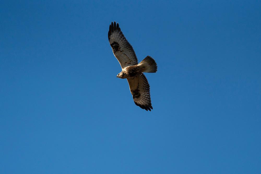 Rough-legged buzzard, Buteo lagopus, Angarn, Uppland, Sweden