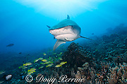 large female tiger shark, Galeocerdo cuvier, with crooked jaw likely from fishing interaction, and a remora or sharksucker on its chin, and bluestripe snapper, or ta'ape, Lutjanus kasmira, Honokohau, Kona, Big Island, Hawaii, USA ( Central Pacific Ocean )