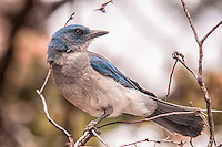 The Mexican jay is a gorgeous member of the crow and jay family that is found throughout Mexico and barely touches into parts of Texas, New Mexico and Arizona. Very similar to the Florida scrub jays in appearance from my birthplace in SW Florida, these noisy birds are intelligent, curious, and much like their relative - the magpie, are thieves for anything bright, shiny or tasty. This one was photographed in the Chiricahua Mountains on the Arizona-Mexico border.