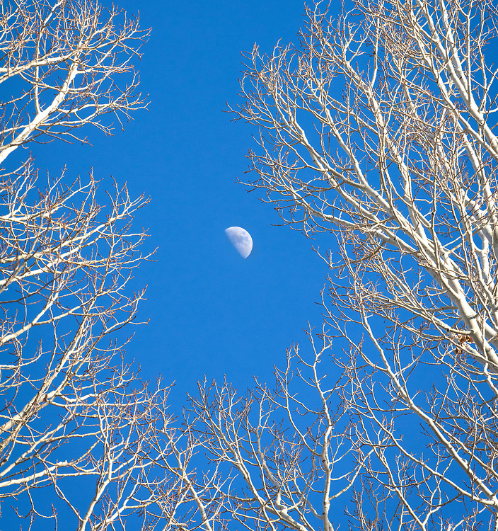 Moonrise and aspen trees in winter, Valdez Valley, New Mexico