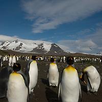 King Penguins at Salisbury Plain, South Georgia, Antarctica.