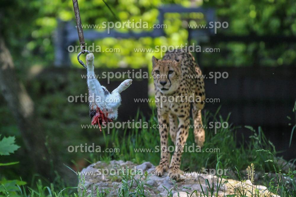 THEMENBILD - Der Gepard bei der Jagd, ist ein hauptsächlich in Afrika verbreitetes Raubtier, das zur Familie der Katzen gehört. Die in ihrem Jagdverhalten hoch spezialisierten Geparde gelten als schnellste Landtiere der Welt, aufgenommen am 19.05.2019 im Tiergarten Schönbrunn in Wien, Österreich // The cheetah at the hunt, is a predator that is mainly distributed in Africa and belongs to the cat family. The highly specialized in their hunting behavior cheetahs are considered the fastest land animals in the world, pictured on 2019/05/19 at the Tiergarten Schönbrunn at Vienna, Austria. EXPA Pictures © 2019, PhotoCredit: EXPA/ Lukas Huter