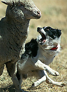 Brock the Border Collie corrals a sheep during the sheepdog trials. It was getting pretty hot out there and the sheep were not responding to Brock very well. So he decided to take action on this guy. The event was the 14th annual lambtown USA Festival which took place in Downtown Dixon 7/29/00.
