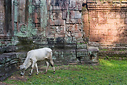 Cow grazes at the wall of Preah Khan, which was built and used by Jayavarman VII. Living there while Angkor Thom was being reconstructed. Once having the role of monastery and university to many thousands, it then became an inter-denominational temple for Buddha, Shiva and Vishnu and the main deity Lokesvara (plus another 282 gods). Today it is in a state of semi-collapse, lichen and moss covered, and with the jungle trees encroaching it's walls.