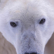 Polar Bear, (Ursus maritimus) Close up of face. Churchill, Manitoba. Canada.