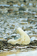 01874-06310 Polar Bear (Ursus maritimus) female nursing cub  Churchill MB