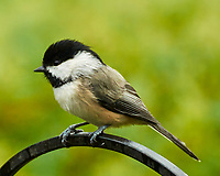 Black-capped Chickadee. Image taken with a Nikon 1 V3 camera and 70-300 mm VR lens.
