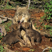 Gray Wolf (Canis lupus) pups greeting an adult at a den during the spring in the Rocky Mountains of Montana. Captive Animal