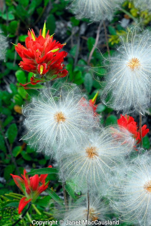 """Alpine wildflowers Dryas octopetala have turned into 2"""" whorls of fluffy seeds, accented by red Indian Paintbrushes."""
