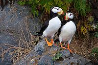 A pair of puffins rest outside their burrow in Kodiak, Alaska