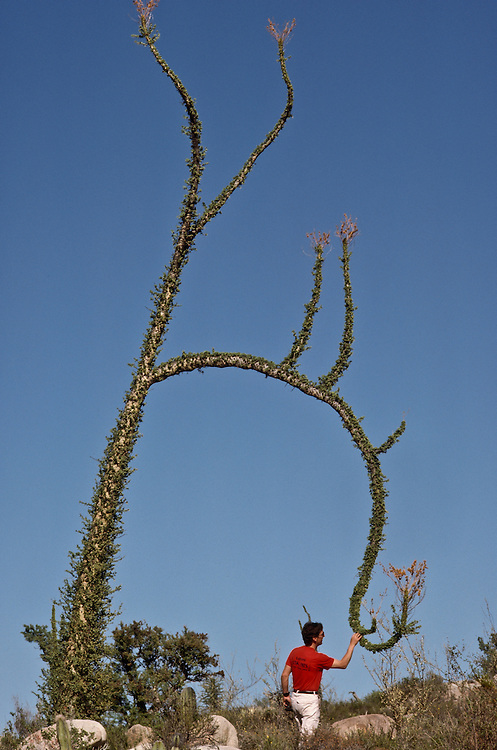 A man inspecting a flowering tree in Baja California.