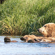 Alaskan Brown Bear (Ursus middendorffi) cooling off in water in Katmai National Park, Alaska.