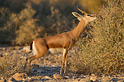 Dorcas Gazelle (Gazella dorcas), also known as the Ariel Gazelle grazing from a desert bush. Photographed in the Negev Desert, Israel