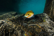 Bluegill (on spawning nest)<br /> <br /> Jennifer Idol/Engbretson Underwater Photography