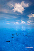 Atlantic spotted dolphins, Stenella frontalis, pod swimming over shallow sand bank, Little Bahama Bank, Bahamas ( Atlantic )