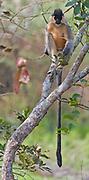 Capped langur (Trachypithecus pileatus) from Kaziranga NP, Assam, India.
