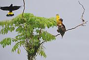 A male Crested Oropendola (Psarocolius decumanus) displays near a nesting site in the Napo Wildlife Centre while another bird flies past.  Yasuni National Park, Amazon, Ecuador.