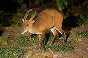 A male barking deer, or red muntjak (Muntiacus muntjak) at night. Captive, Malaysia.