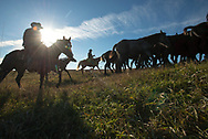 A horse drive taking 20, 1-year-old Percheron geldings down 20 miles of roads and across the plains of western North Dakota to Ronnie Oyloe's ranch in Round Prairie Township west of Williston, N.D., Oct 25, 2013.  With the help of two couples — Jen and Jake Henderson, who rent a house on Oyloe's property, and neighbors Kendel and Leroy Hofer, the five of them worked in unison to move the horses from their original location just south of Ray, ND.  Photo Ken Cedeno