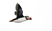 Atlantic Puffin (Fratercula arctica) from 81 degrees north, off Spitsbergen, Svalbard in July 2012.