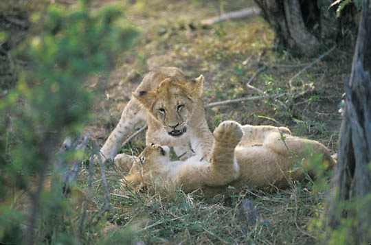 African Lion, (Panthera leo) Cubs playing together in shade. Masai Mara Game Reserve. Kenya. Africa.