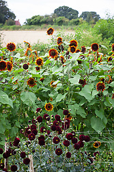 Helianthus annuus 'Ring of Fire' and Dahlia 'La Recoleta' with Shropshire fields behind. Sunflowers