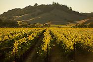sunset in Beringer's Knights Valley Vineyard.