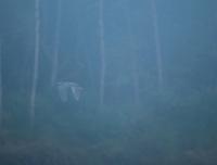 Great blue heron, Ardea herodias, flying in fog on the Tarcoles River, Costa Rica