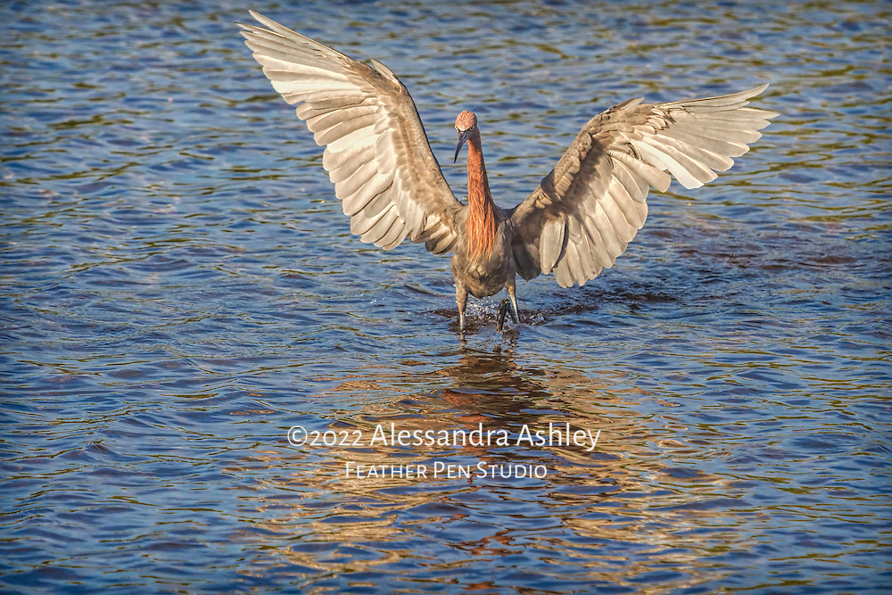 """Reddish egret (Egretta rufescens) reveals magnificent wings while """"dancing"""" and hunting for its next meal. Reddish egrets appear to dance as they move erratically  to confuse fish, then strike. Photographed at Ding Darling National Wildlife Refuge, Sanibel Island, FL. Semifinalist, 2015 Share the View nature photography competition by Audubon Society of Greater Denver. Published in portfolio feature, Wild Planet Photo Magazine, Issue 47/Sept. 2017."""