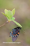 03004-01103 Pipevine Swallowtail (Battus philenor) male in Marion Co., IL