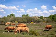Europa, Deutschland, Nordrhein-Westfalen, Troisdorf, Glanrinder in der Wahner Heide. - <br /> <br /> Europe, Germany, Troisdorf, North Rhine-Westphalia, Glan cattle in the Wahner Heath.