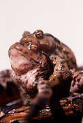 AE2BWB Common frogs mating