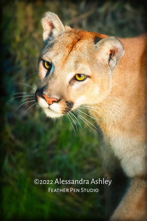 Sunlit facial potrait of female mountain lion. Photographed in controlled situation within naturalistic habitat.