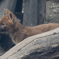 Asian wild dog (Cuon alpinus) also known as Dhole baby is seen at Zoo Budapest in Budapest, Hungary on May 19, 2021. ATTILA VOLGYI