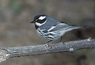 Black-throated Gray Warbler - Setophaga nigrescens - Adult male
