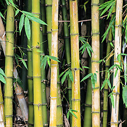 Bamboo stalks in Vietnam.