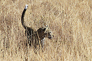 Kenya, Samburu National Reserve, Kenya, Leopard, Panthera pardus cub Photographed in August