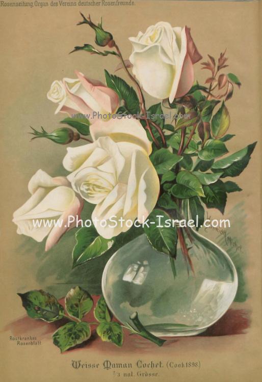 Hand painted and coloured Bouquet of white roses 1900. Rosen-Zeitung, Organ des Vereins Deutscher Rosenfreunde, 1887 [Periodical of the German Rose Society (Vereins Deutscher Rosenfreunde)] by C. P. Strassheim
