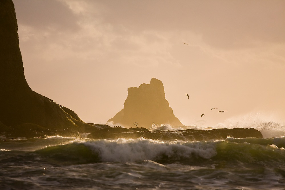 Seabirds feed at sunset in the waves crashing against sea stacks off the coast of Second Beach, Olympic National Park, Washington.