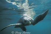 olive ridley sea turtle, female, Lepidochelys olivacea, Costa Rica, Central America ( Eastern Pacific Ocean )