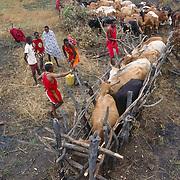 Maasai people spraying pesticide on their cattle. Kenya, Africa