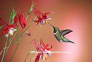 01162-07120 Ruby-throated Hummingbird (Archilochus colubris) male on Crimson Star Columbine (Aquilegia x hybrida) IL