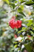 Hibicus, Vaipaee Community Botanical Garden, Ua Huka, Marquesas Islands, French Polynesia<br />