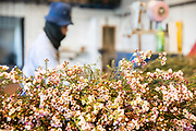 Flower export. Thai migrant works pick flowers in a hothouse Photographed in israel