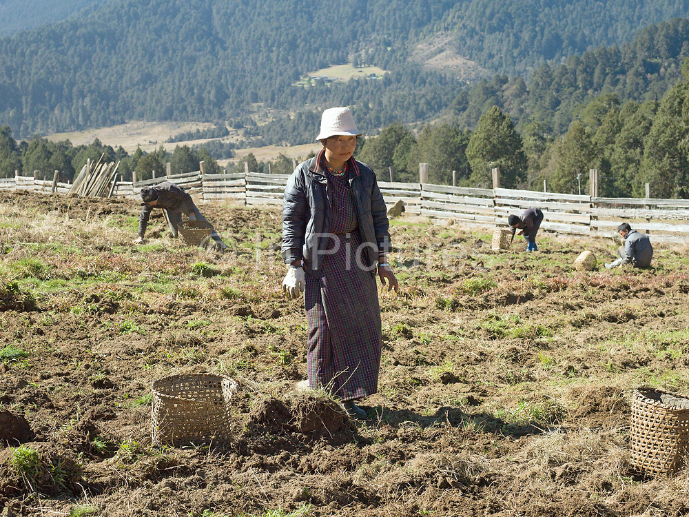 A farmer from Chubja village harvests potatoes, Bhutan. Due to the decline of sheep farming, many farmers in Bhutan are turning to potatoes for the majority of their income.