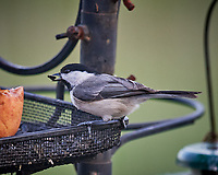 Black-capped Chickadee. Image taken with a Nikon D5 camera and 600 mm f/4 VR telephoto lens (ISO 1600, 600 mm, f/5.6, 1/320 sec).