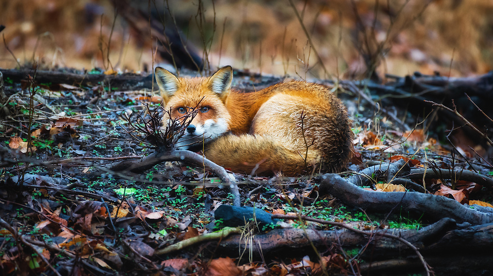 A sleepy fox in the rain at Patapsco Valley State Park in Oella, Maryland.