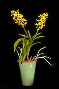 Dendrobium orchid (Thongchai x Canaliculatum) grown by the photographer, 20 inches tall, with two flower spikes supporting 28 individual blossoms. <br /> <br /> The Dendrobium genus of orchids was established in 1799 and contains about 1,200 species.  Dendrobium grow in diverse habitats throughout much of south, east and southeast Asia, including the Philippines, Borneo, Australia, New Guinea, Solomon Islands and New Zealand.