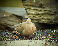 Mourning Dove. Image taken with a Nikon D4 camera and 600 mm f/4 VR lens (ISO 280, 600 mm, f/4, 1/400 sec).